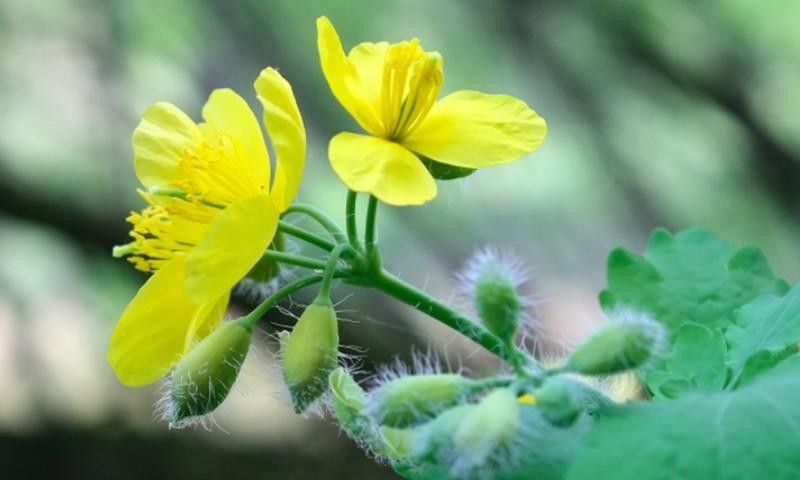 """""""Kregždės gėlė"""" padeda besigydantiems nuo vėžio"""