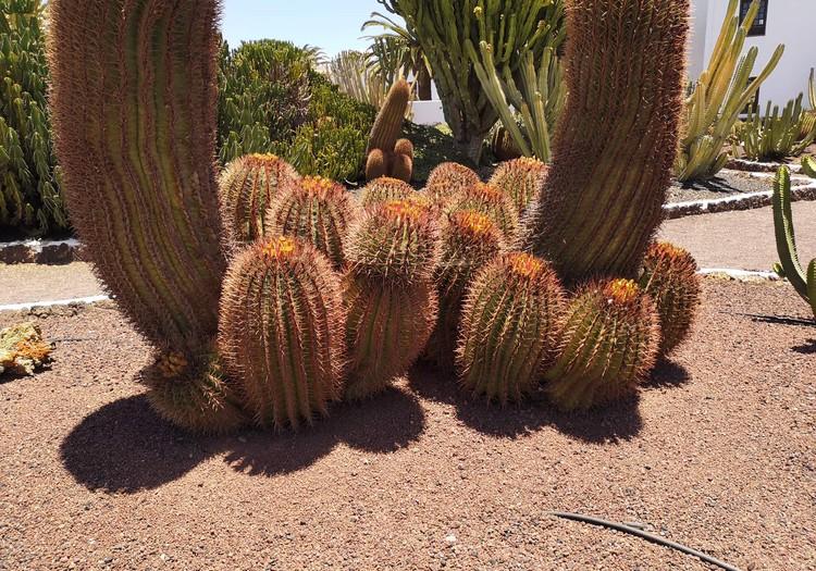VASAROS GIDAS. Fuerteventūros sūrio muziejus kaktusų paroda