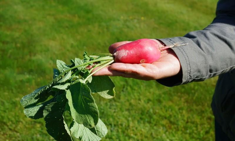 Įdomūs faktai apie daržoves