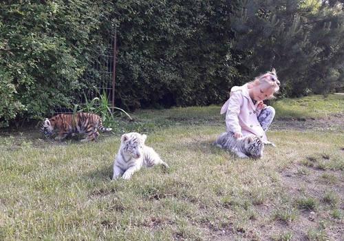 Tigriukas arba lapiukas. Arba... abu