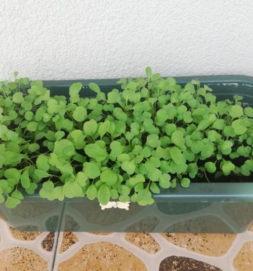 TOKIA MŪSŲ KASDIENYBĖ. Daržas balkone ir eksperimentas su salotomis
