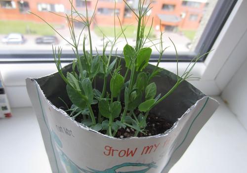 Su tokiais žirnio augimo tempais tuoj rinksime derlių :)