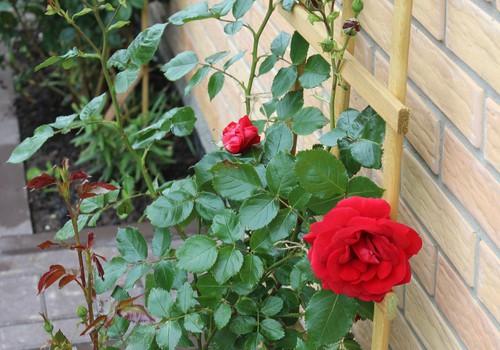 Žaliaraštis: rožė - gėlė kerėtoja