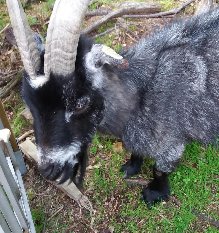 VASAROS BLOGAS: Norvegija.Draugas ožys :)