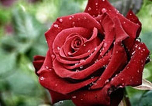 Kaip pasigaminti rožių aliejų