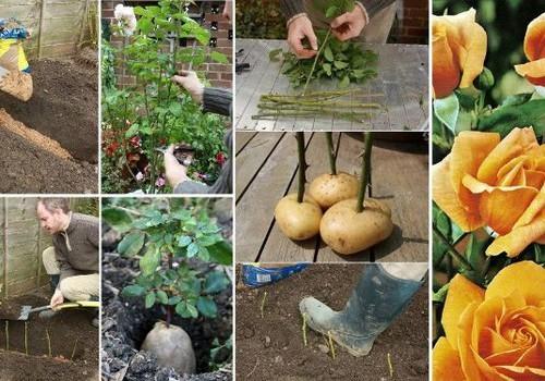 Vasaros eksperimentas: auginu bulviarožes :)