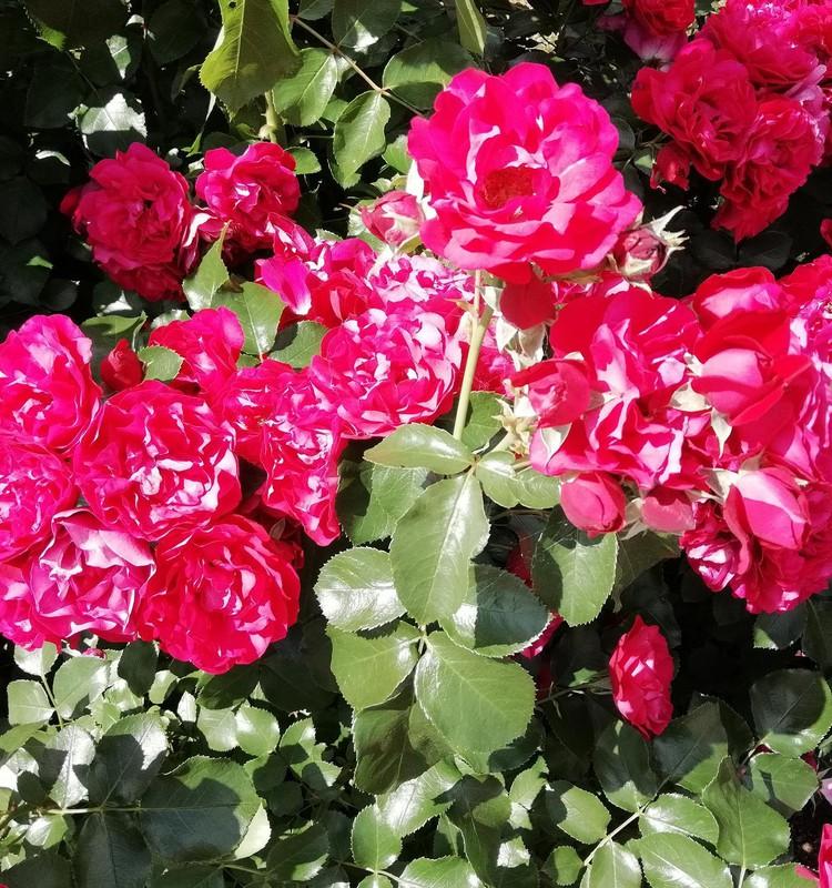 Rožė – gėlių karalienė