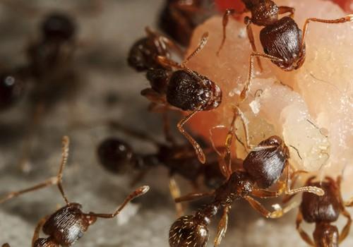 Kaip išnaikinti skruzdėles?