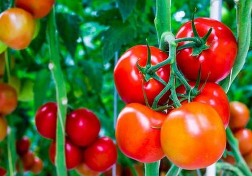 Pomidorų marinavimas pradedantiesiems: trys lengviausi receptai