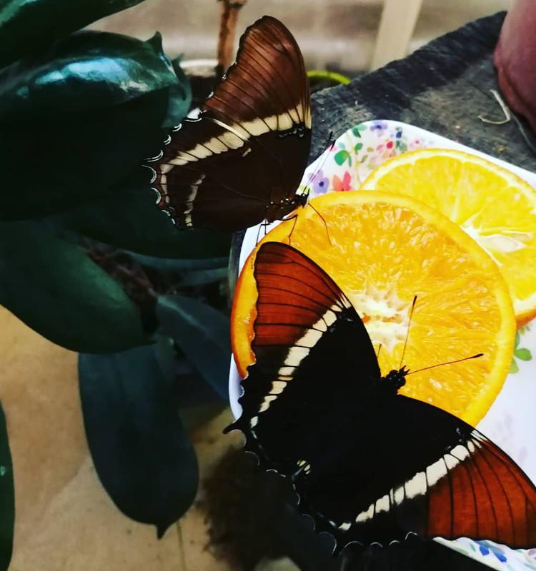 Tropinių drugelių paroda