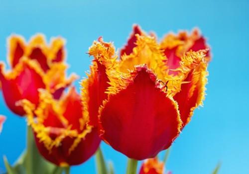 Sodiname svogūnines gėles. Tulpės :)
