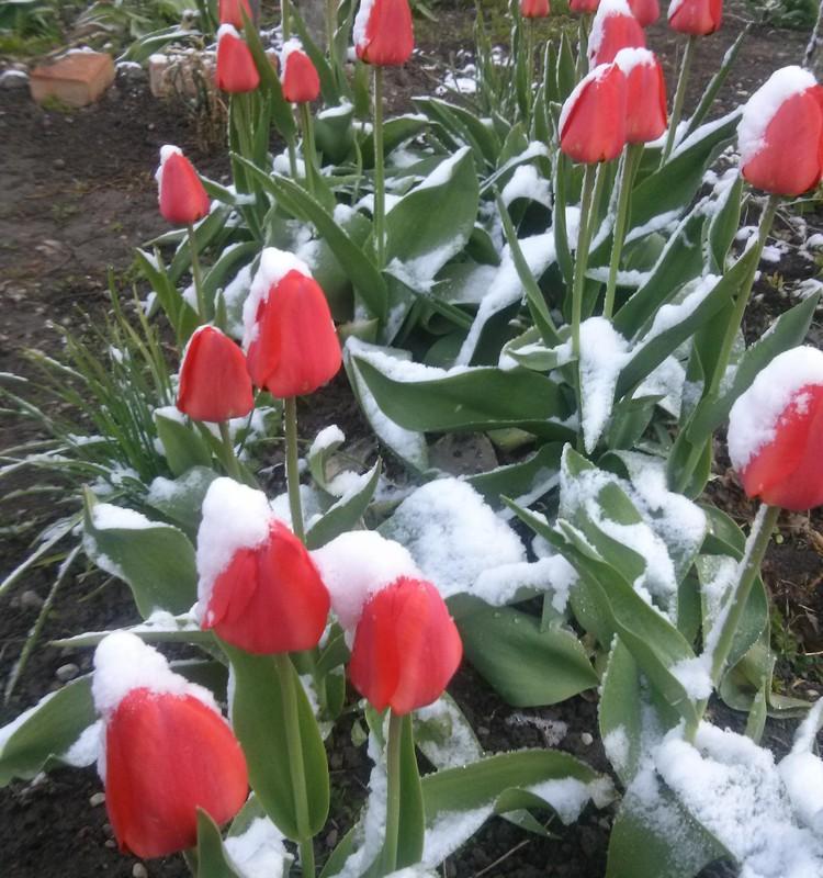 Pavasario blogas: gėlės ir sniegas,lyg pasakoje.. :)