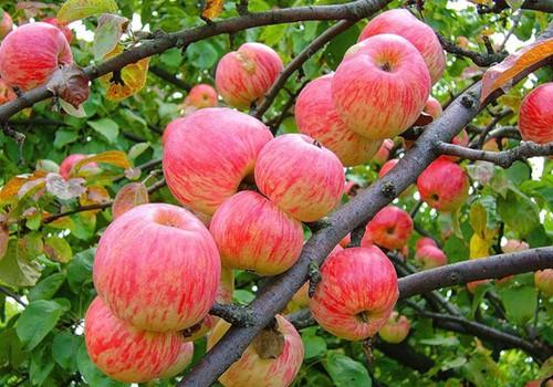 Kas geriau obuoliai ar jų sultys?