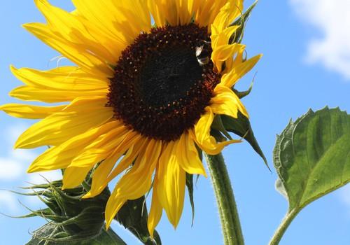 Žaliaraštis: saulėgrąža - besišypsanti gėlė