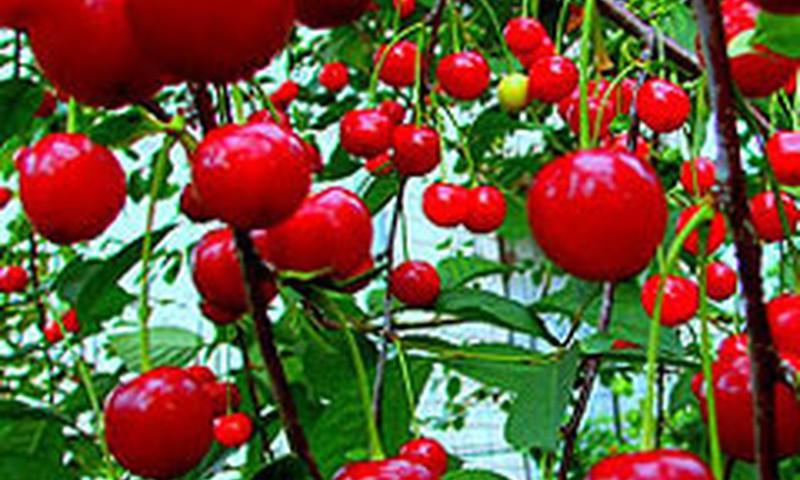 Šventė, kvepianti vyšniomis