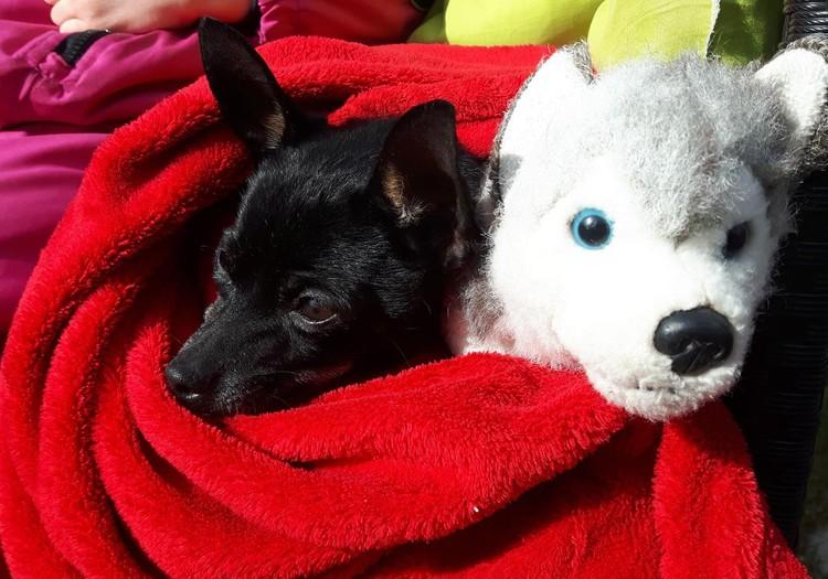 Mūsų augintinis: šuo (rusų toiterjeras)
