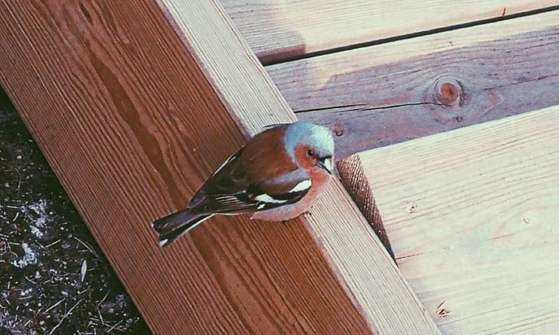Lietuvoje perintys paukščiai