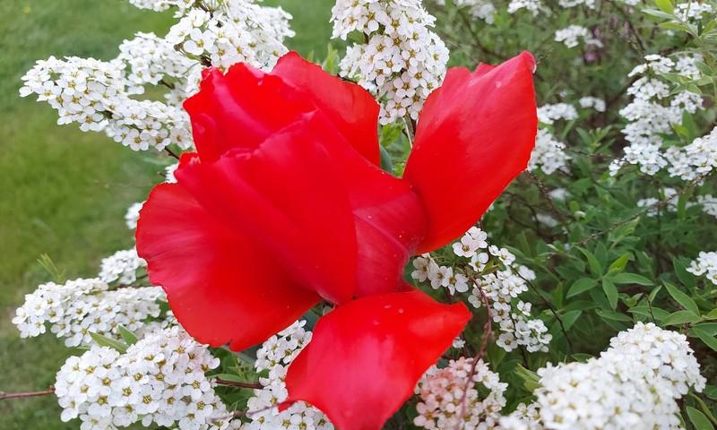 Tulpių manija ir kiti grožiai