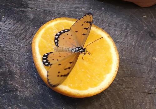 Lankome gyvų drugelių parodą