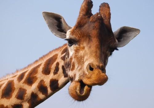 Ko nežinojote apie žirafas?