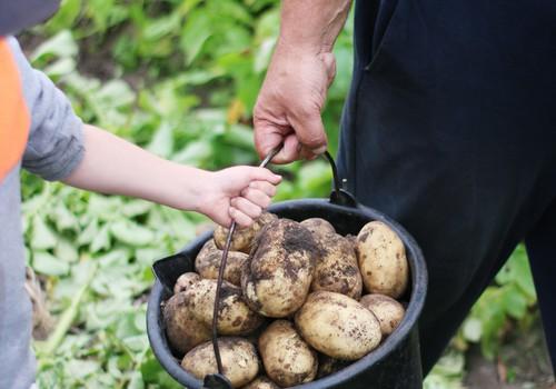 Kai namie - bulvių fanas