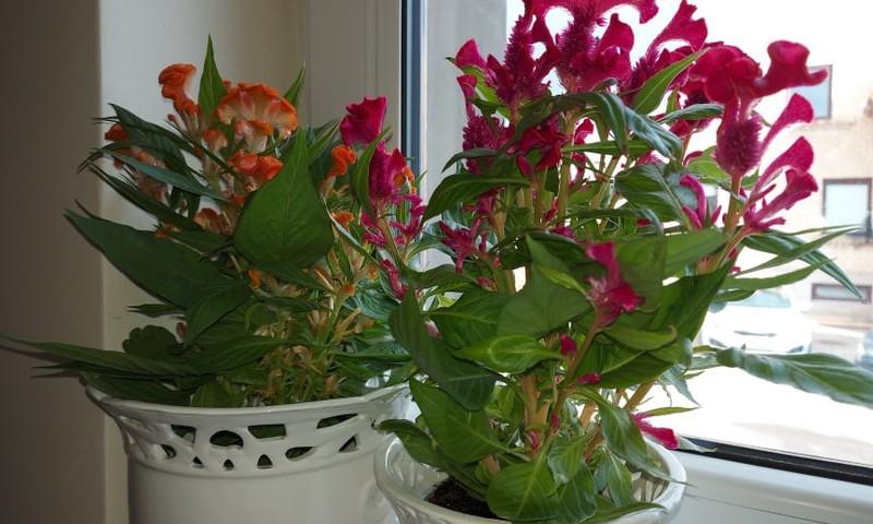 Išskirtinės kambarinės gėlės: celiozija ir paukštpienė