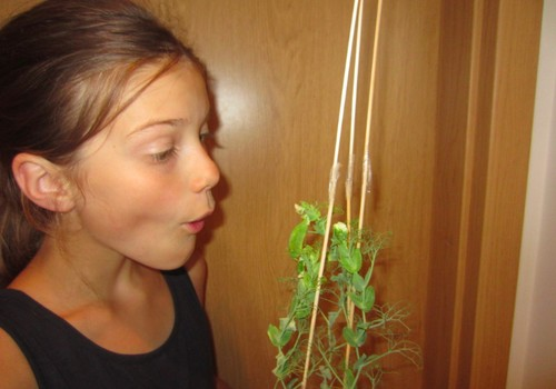 Sulaukėme žirnių derliaus!