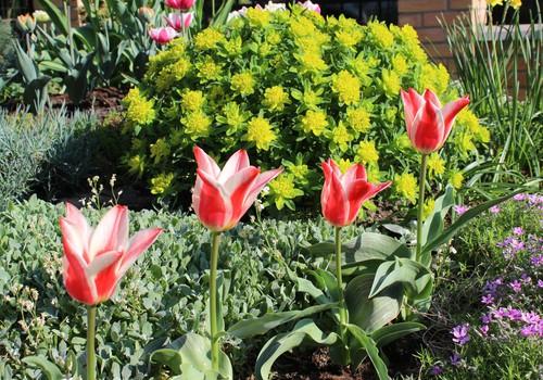 Žaliaraštis: tulpės - sustok akimirka žavinga!