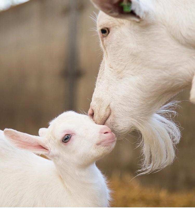 6 faktai apie ožkos pieną
