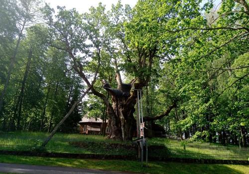 Keliaujame po Lietuvą. Stelmužės ąžuolas